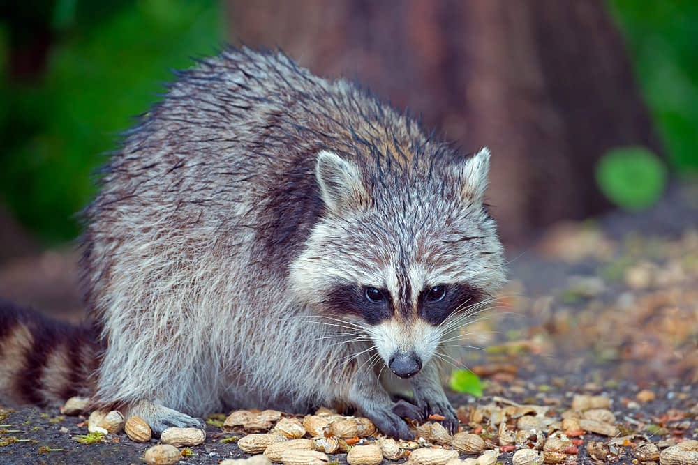 The Dangers of Dealing with Raccoons