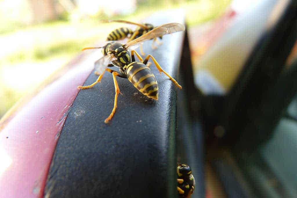 Why Are Wasps Attracted To Your Car