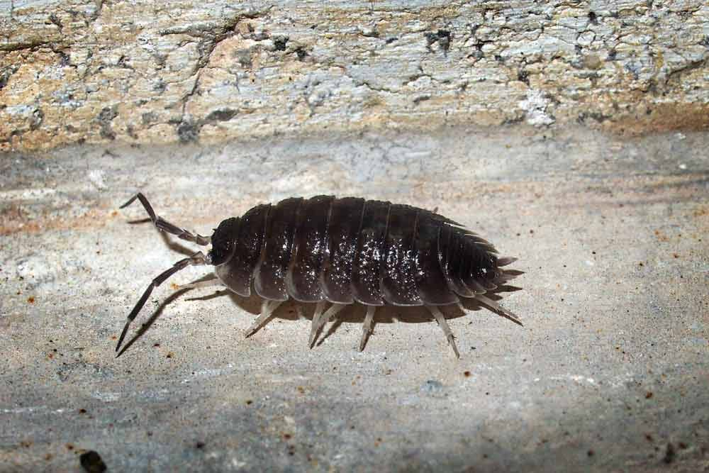 Other Insects with Many Legs - Woodlouse