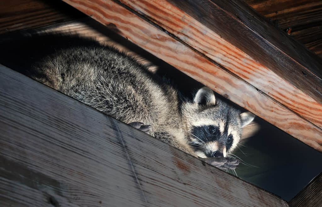 Identifying Raccoons Nests Footprints Droppings