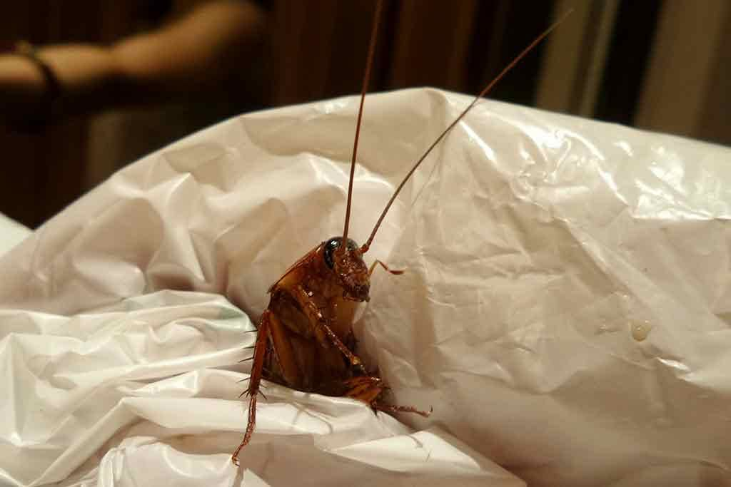 Are Cockroaches Disgusted By Humans?