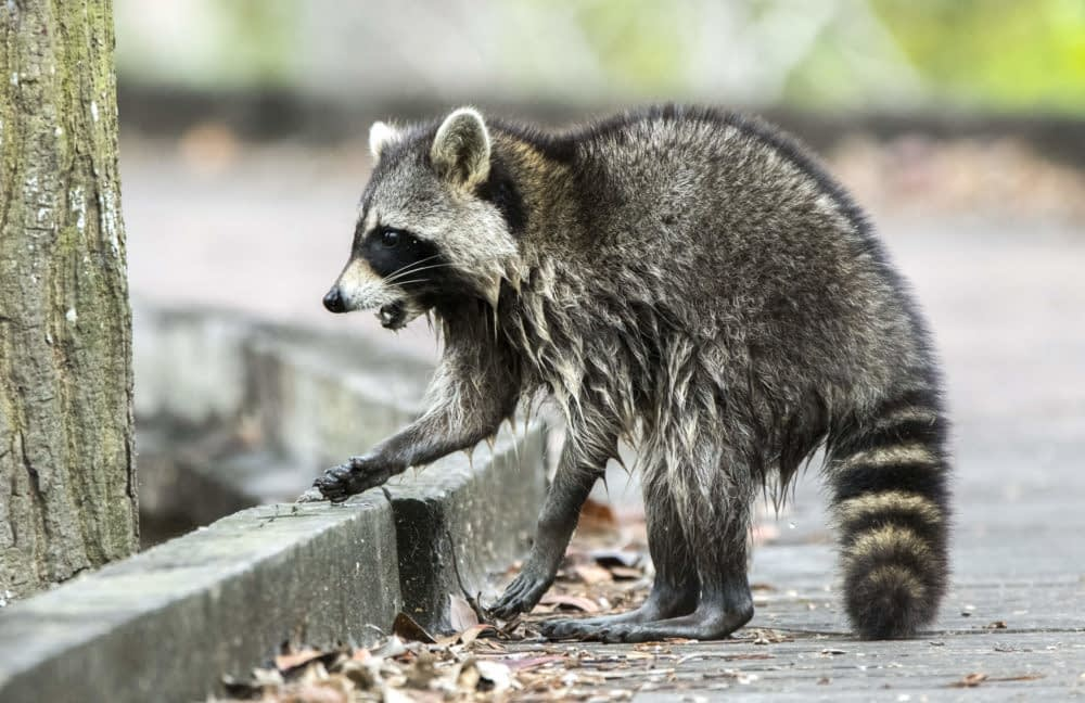 What Are the Signs of a Sick Raccoon?