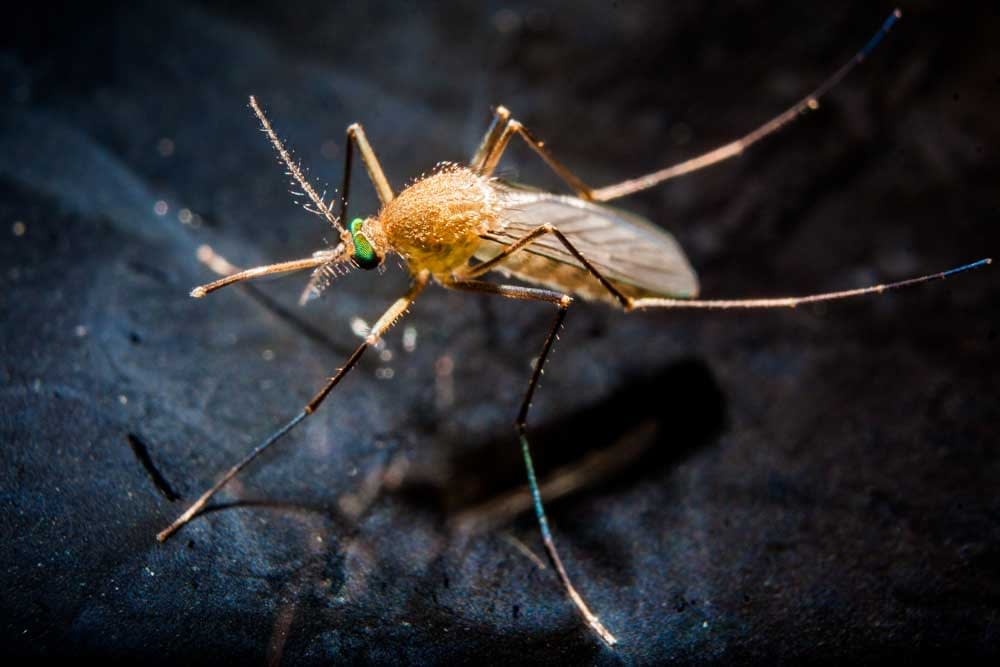 Is A Mosquito An Animal Or An Insect? What Classification?