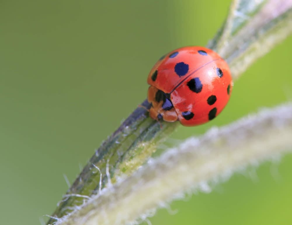 Diet What Do Ladybugs Eat?