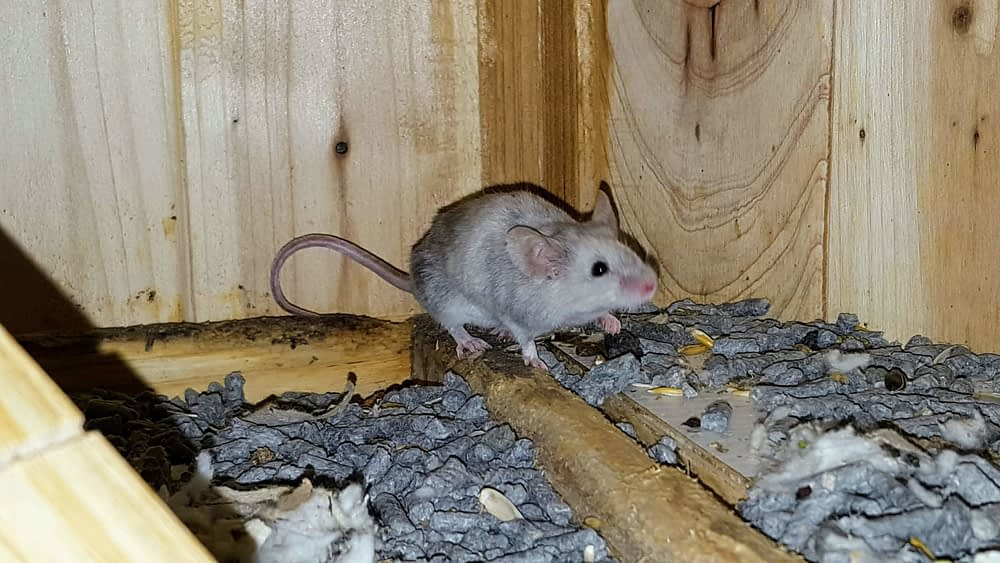 Mythbusting What Mice Are Actually Scared Of