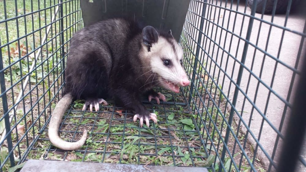 Are Possums Dangerous to Humans and Animals?