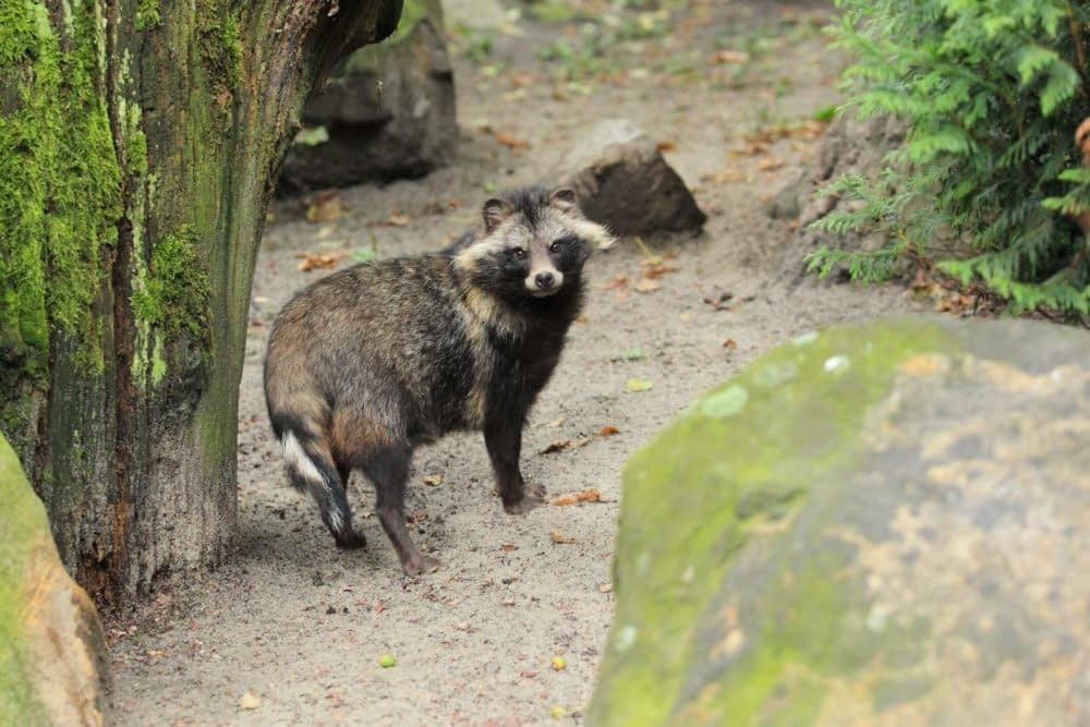 Are raccoons aggressive towards humans?