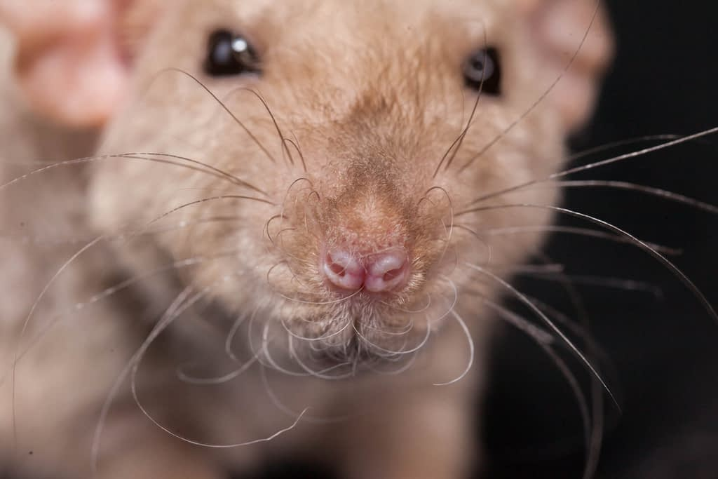 What Sounds Do Rodents Make?