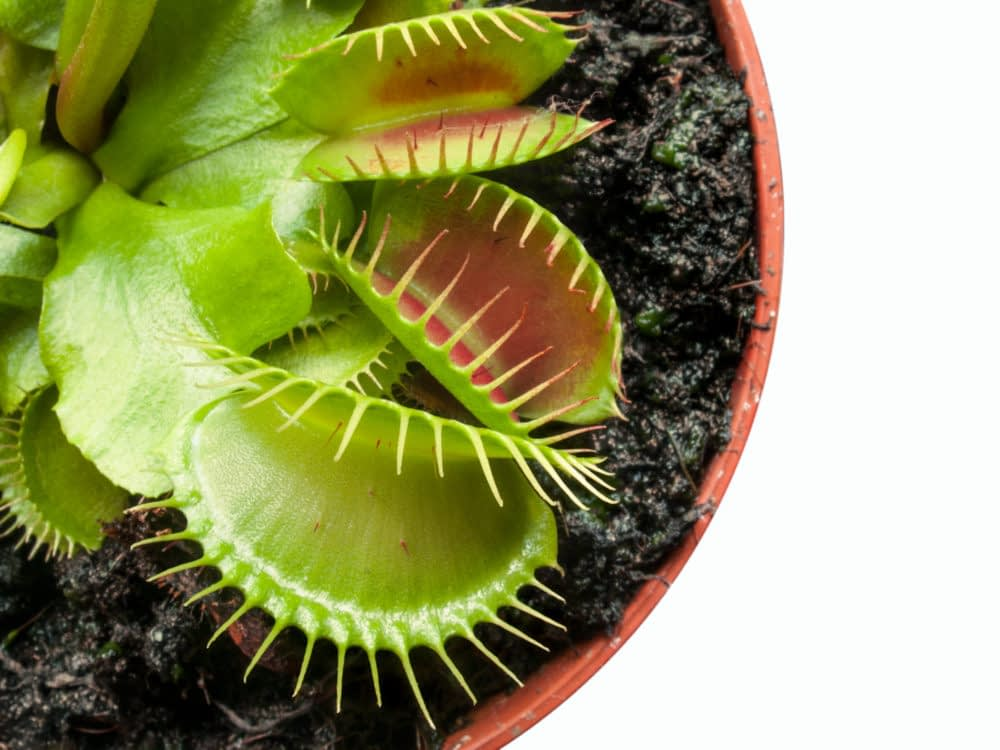 What Is the Lifespan of a Venus Flytrap?