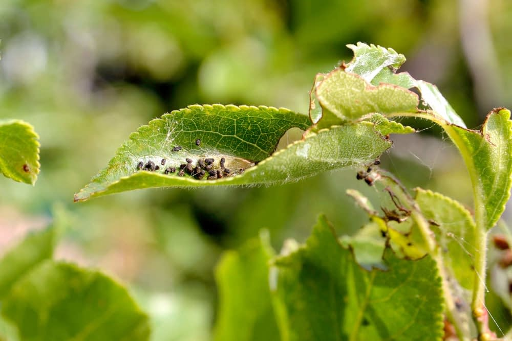 Biological Control of Pests Overview Examples Pros-Cons