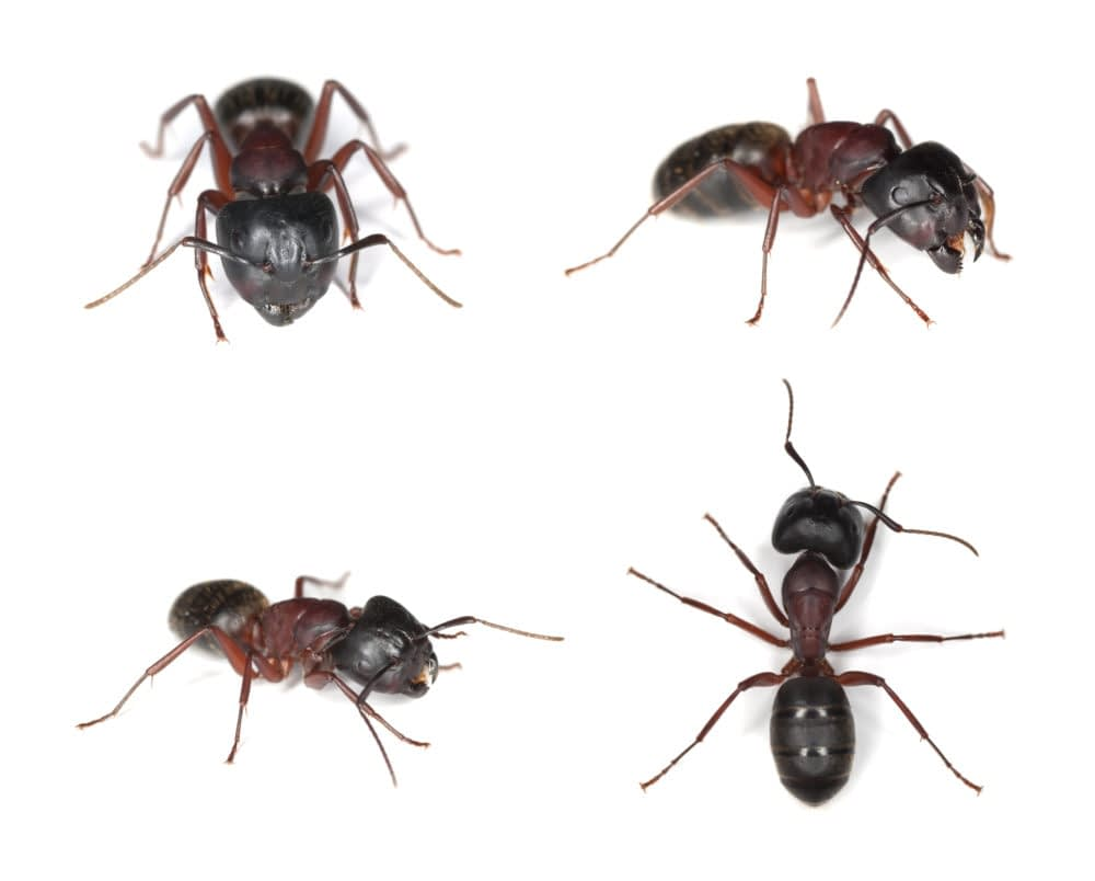 Carpenter Ants are Woodboring Insects