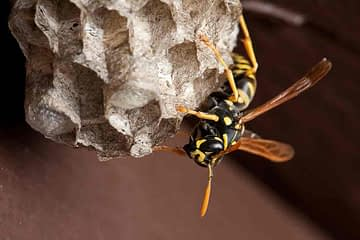 Safe Refuge For A Wasp On Its Nest