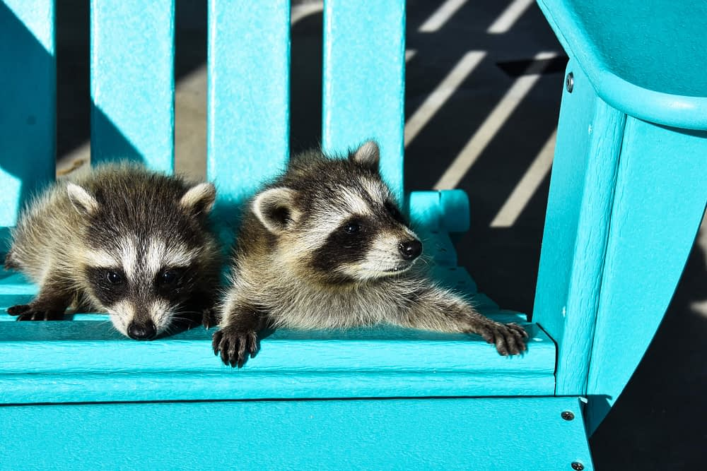 What to Do When You See a Raccoon Out During the Day?