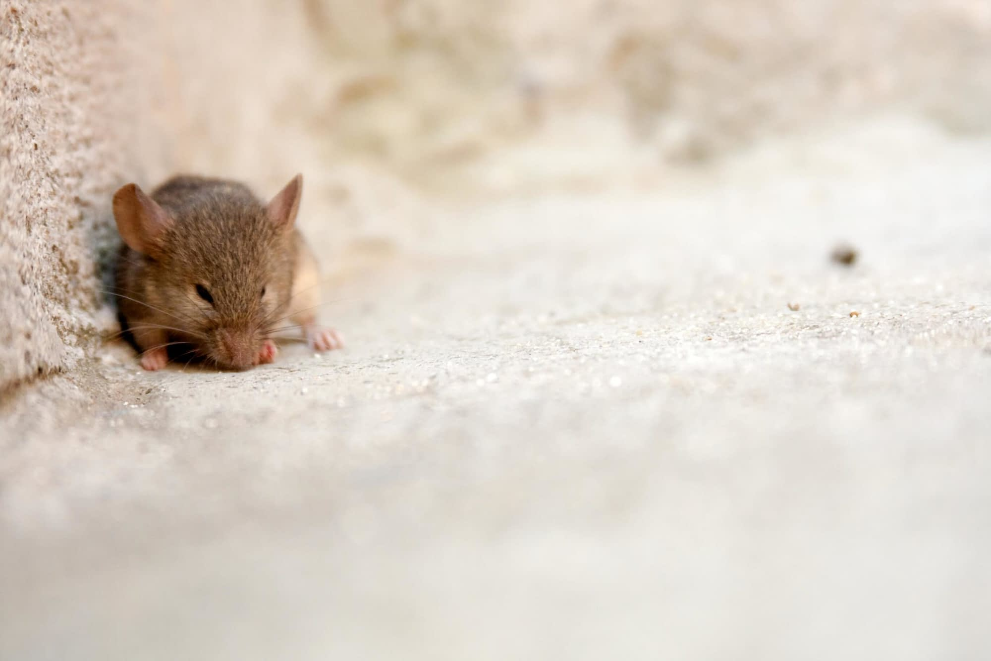 10 Things Mice Are Afraid Of And Why
