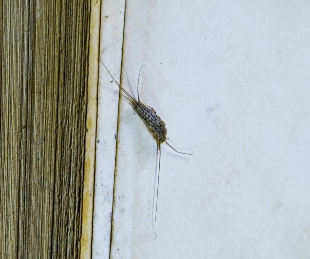 How to Prevent Silverfish Infestations Outside the House?