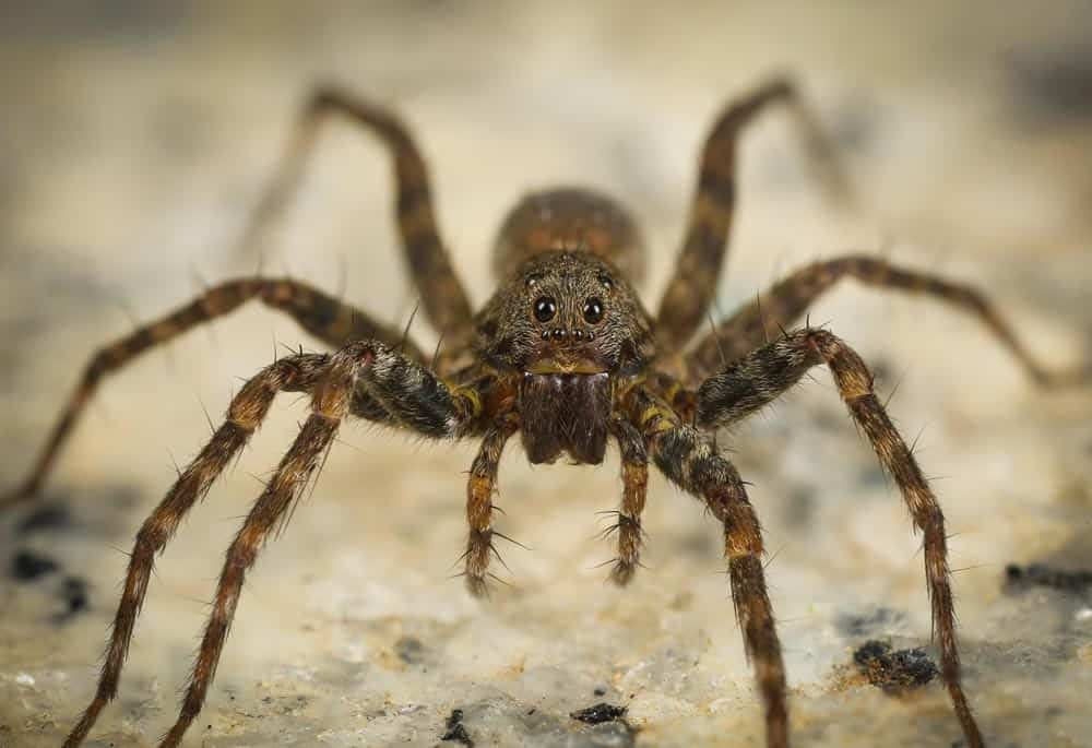 Scary Looking Wolf Spider From Australia