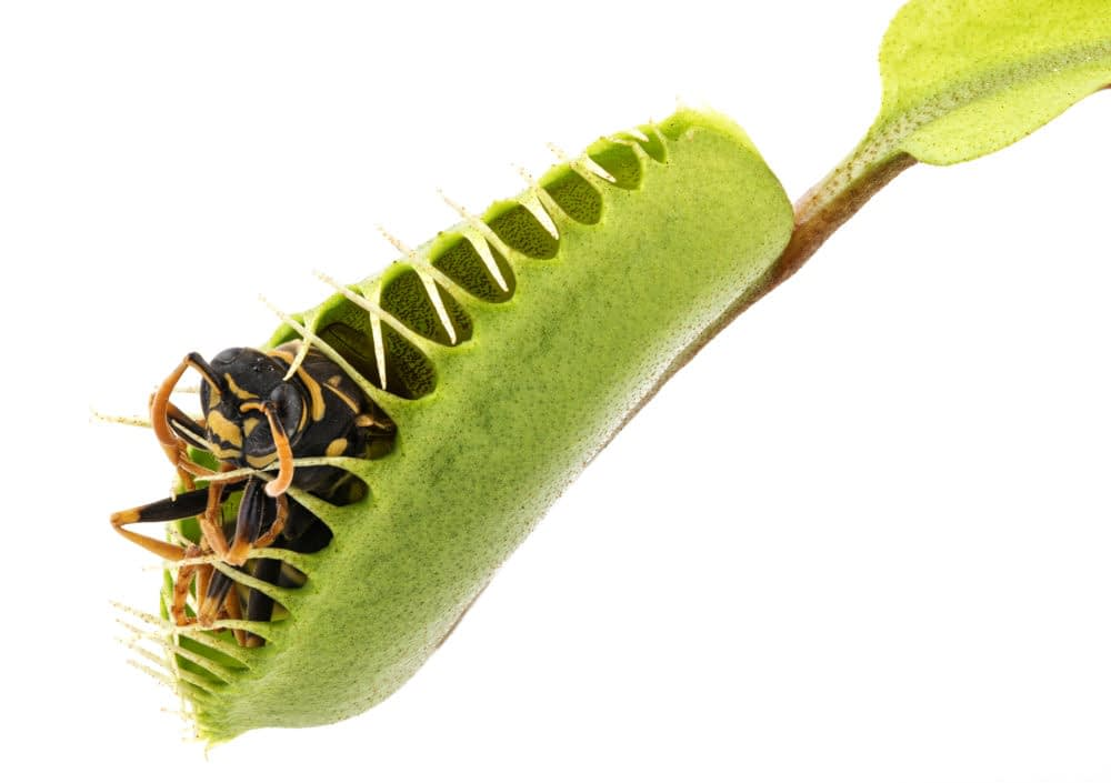 How to Feed a Venus Flytrap a Live Bug?