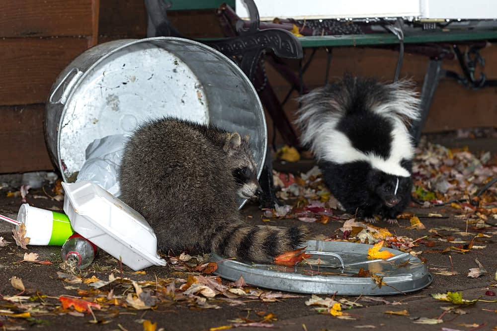 The Tell-Tale Signs of Raccoons Toppled Garbage Cans