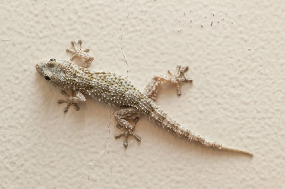 Common House Geckos