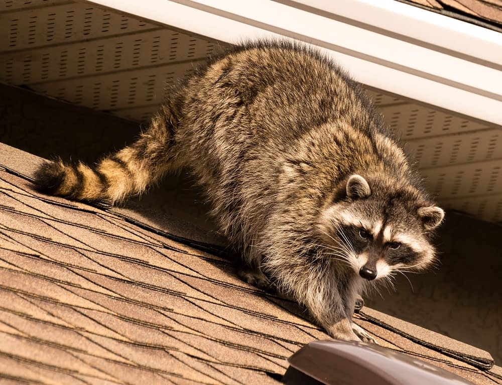 Raccoon Basic Appearance