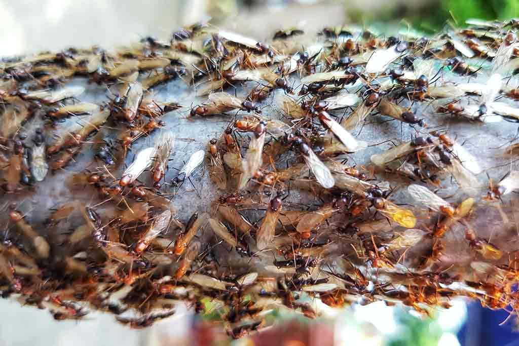 Flying Termites Above Ground In Search Of New Colony