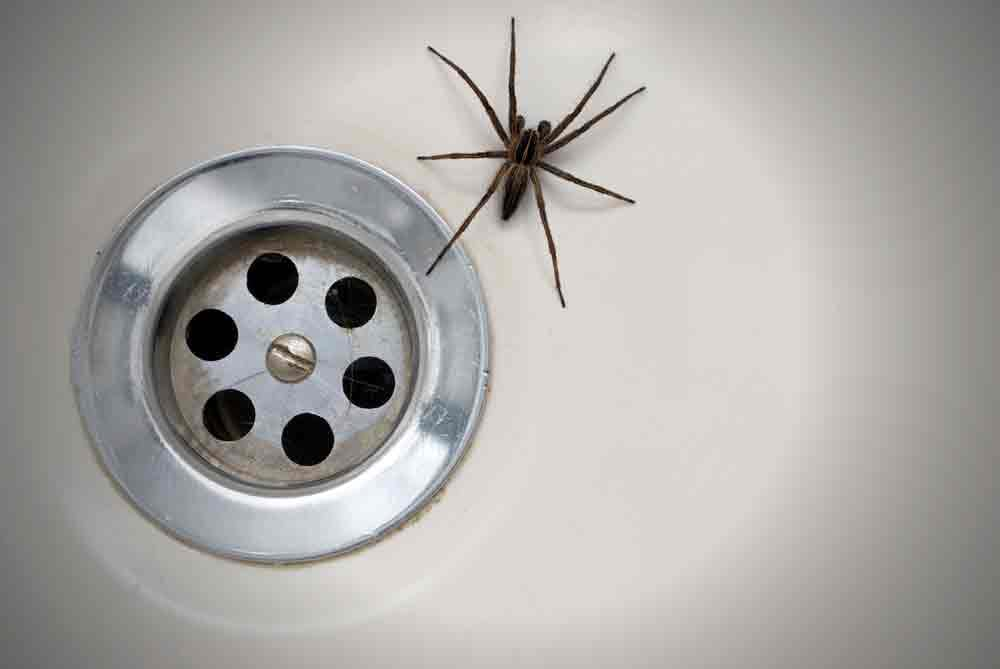 Spider In Bathtub Attracted To Moisture