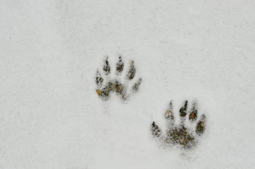The Tell-Tale Signs of Raccoons Footprints