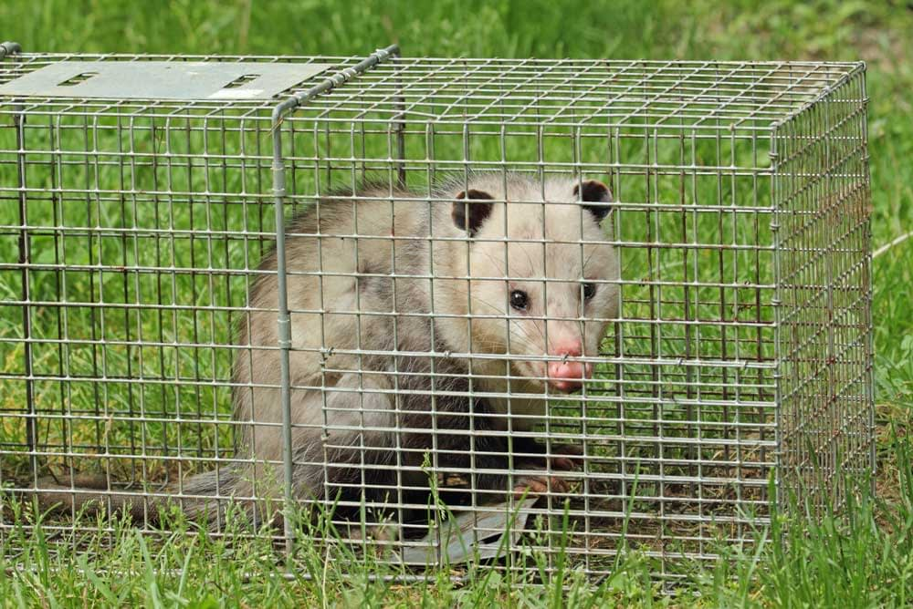 How Do You Get Rid of Possums?
