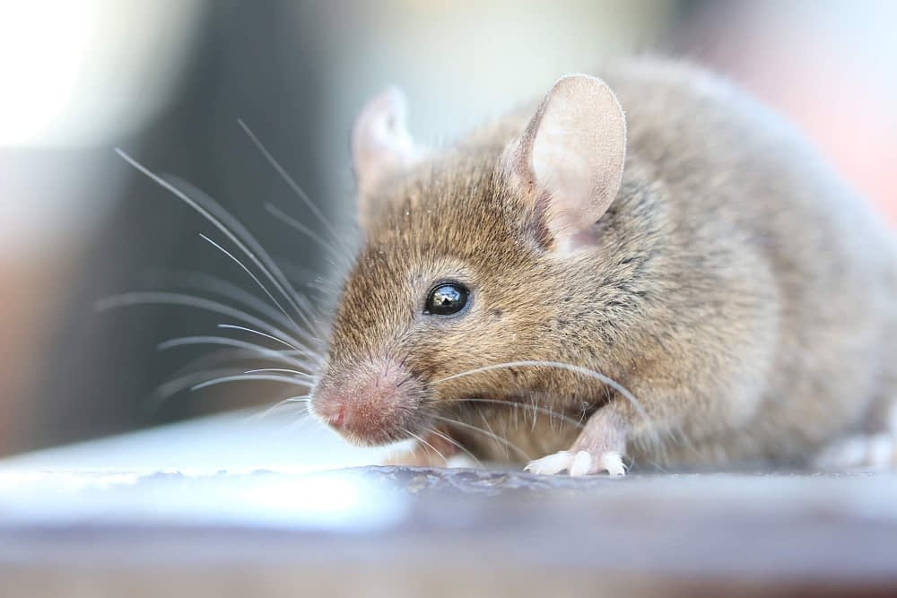 What Sounds Do Mice Make?