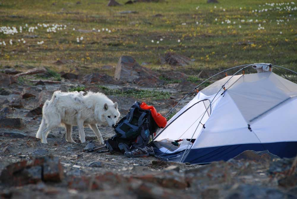 Is It Dangerous To Camp In An Area With Wolves?