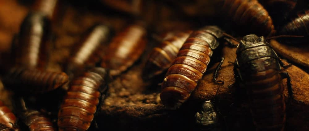 Why Are Cockroaches So Hard To Kill? What Can They Survive?
