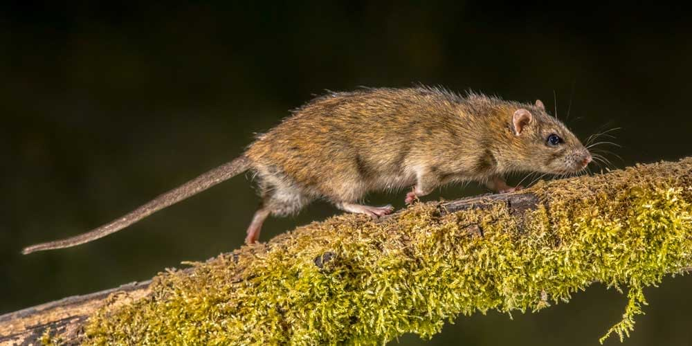 How Do Rats Behave in the Wild?