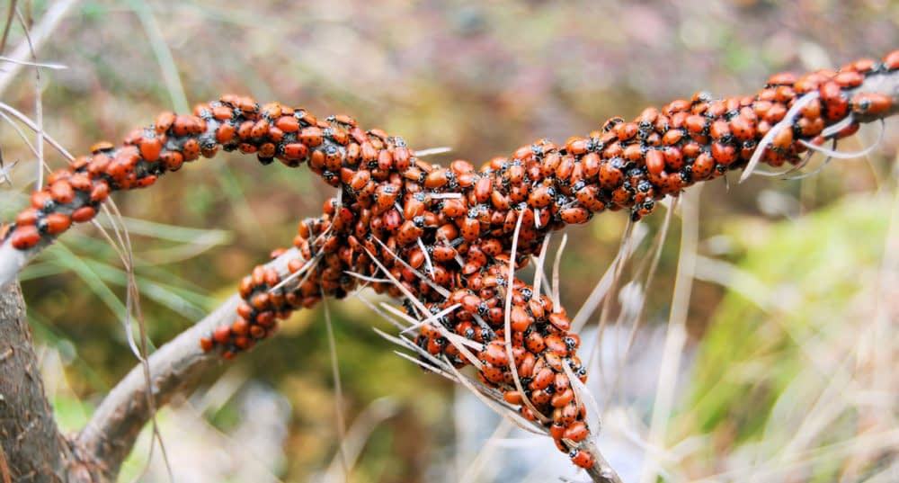 How Can You Avoid a Ladybug Infestation?
