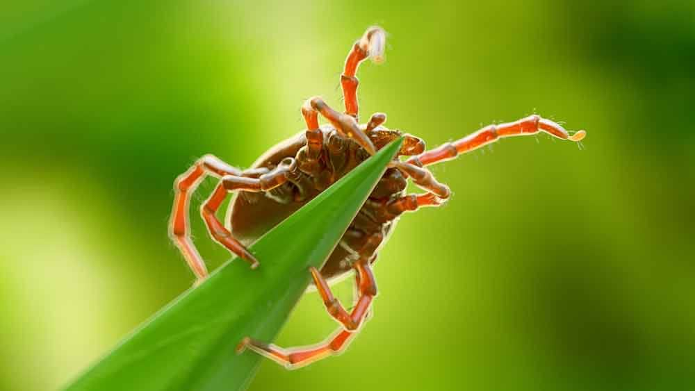 Other Insects with Many Legs Ticks