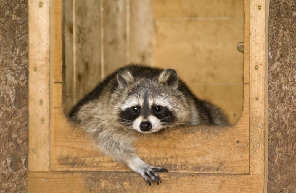 What Are the Problems of Having Raccoons as Pets?