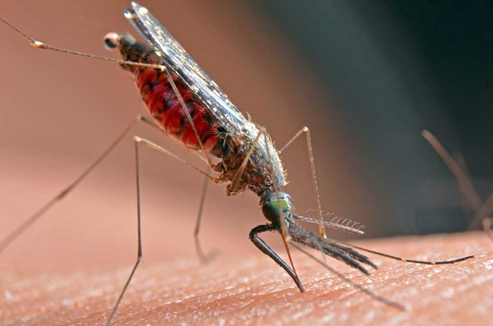 Is a Mosquito a Parasite?