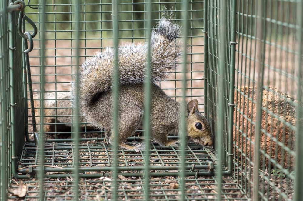 How Can You Trap Squirrels?