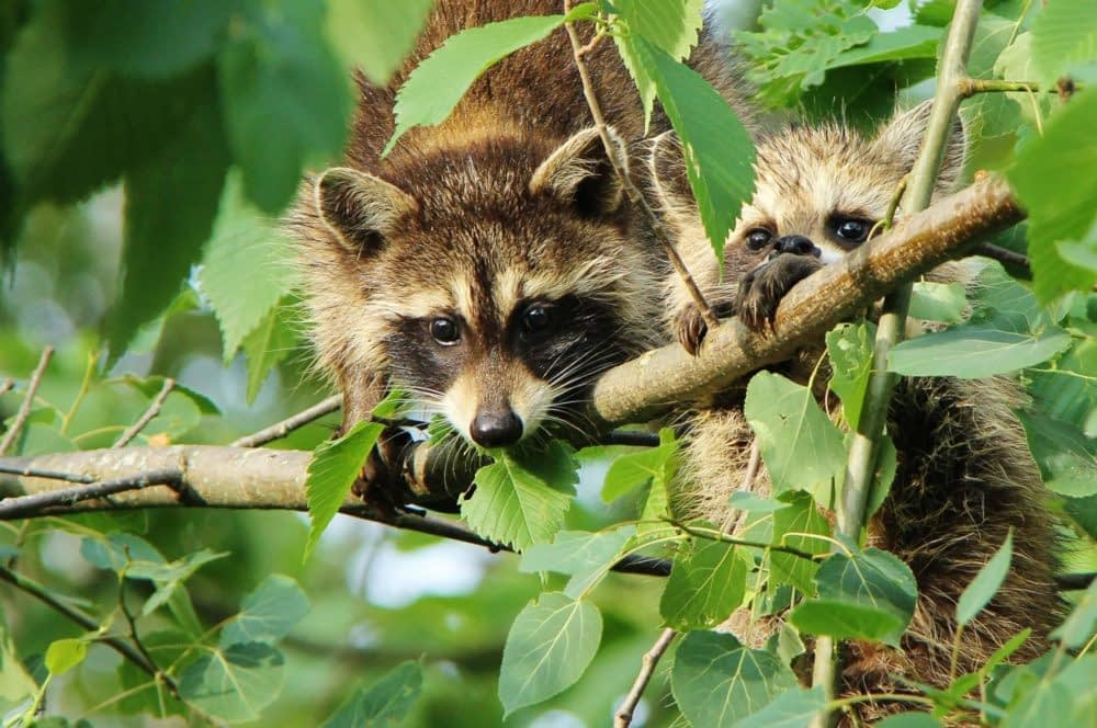 Why Were Raccoons Never Domesticated?