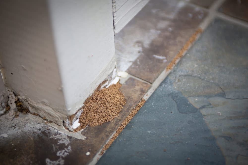 how do you know there is wood boring insect infestation  scaled e1590432688866