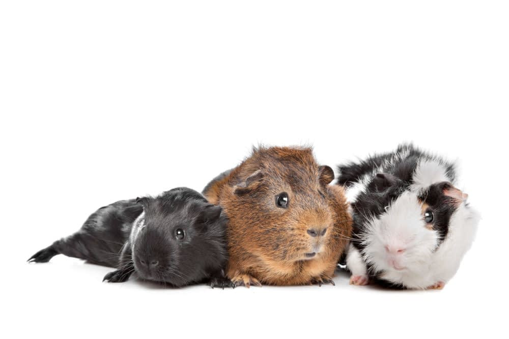 Mice Are Scared Of Guinea Pigs