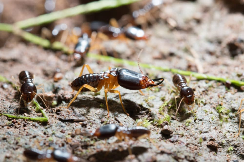 Termites are Wood-boring Insects