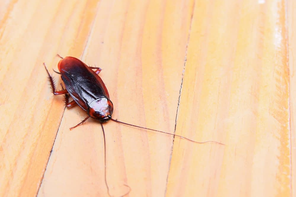 What Do Cockroaches Survive? The Facts and Myths