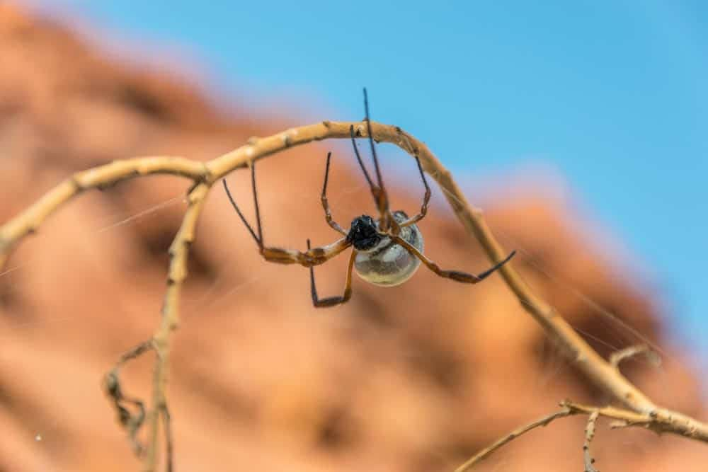 Why Are Spiders In Australia So Big?