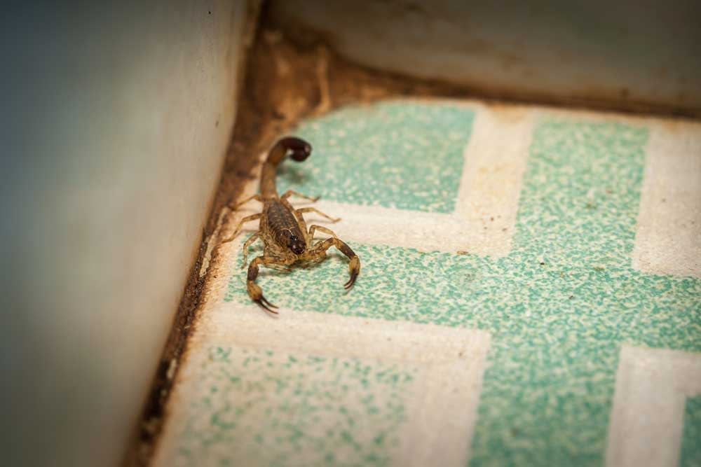 What Attracts Scorpions Into The Home?