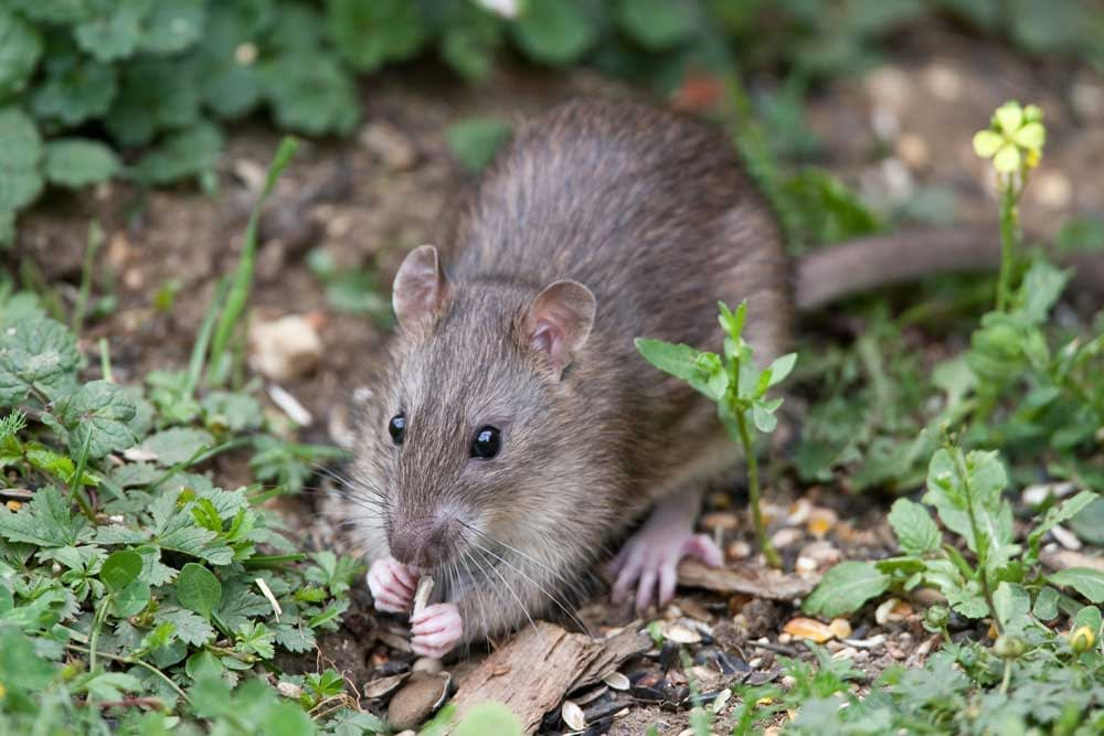 What Do Wild Rats Eat and Drink? - Rat Diet Exploration