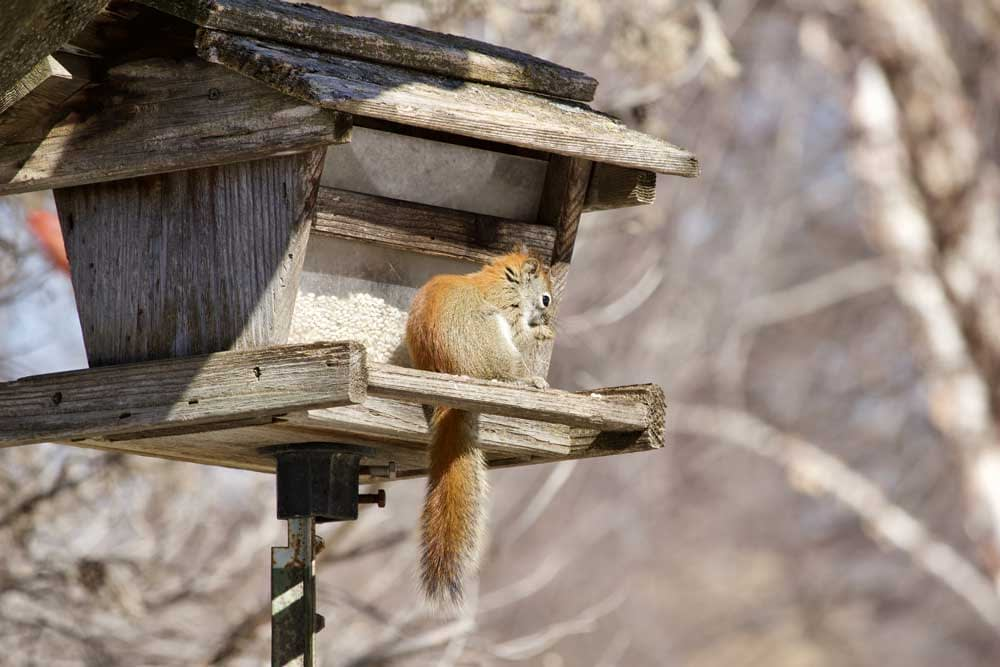When Should You Call a Professional to Get Rid of Squirrels?