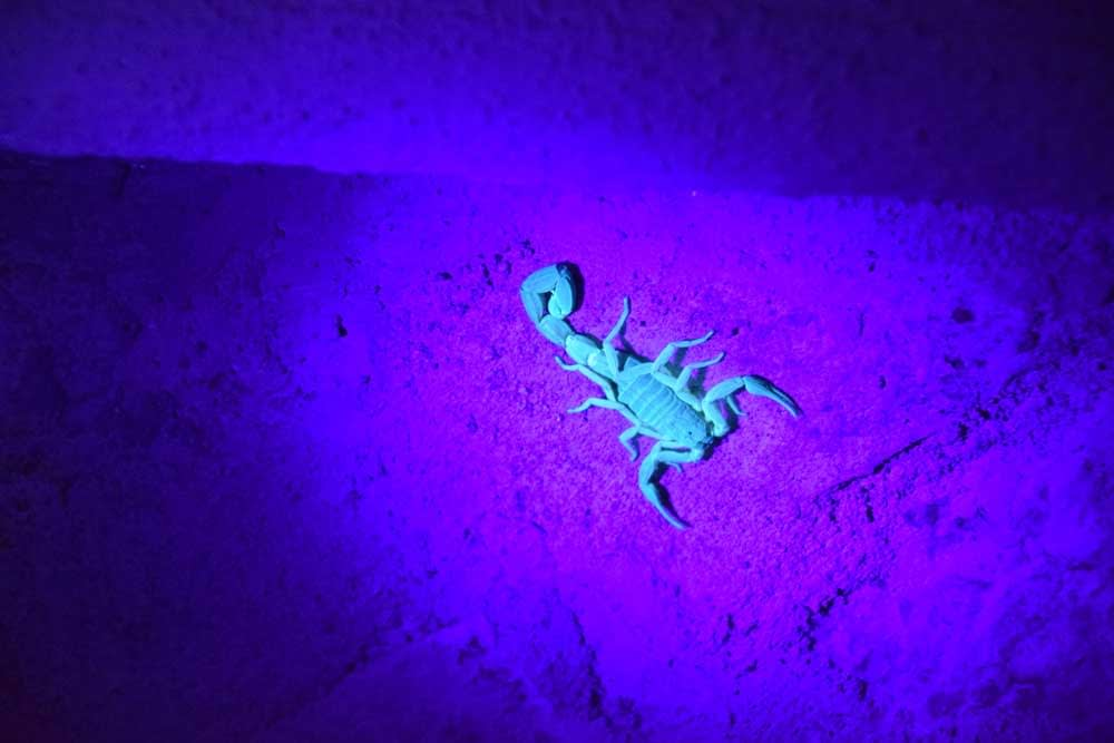 Why Do Scorpions Glow Under Ultraviolet Light?