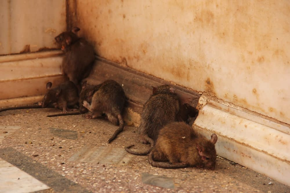 5 Tips For a Rat-Free Home