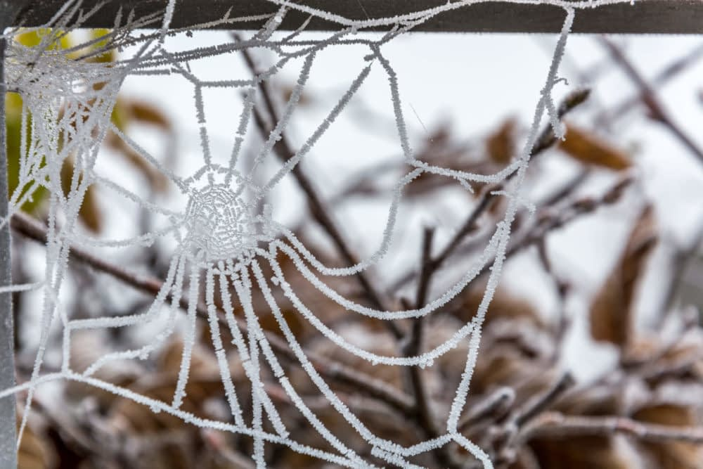 At What Temperature Will Spiders Die?