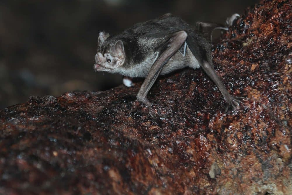 Can Bats Stand Walk or Crawl?